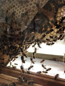 Bees Festooning in an Observation Hive